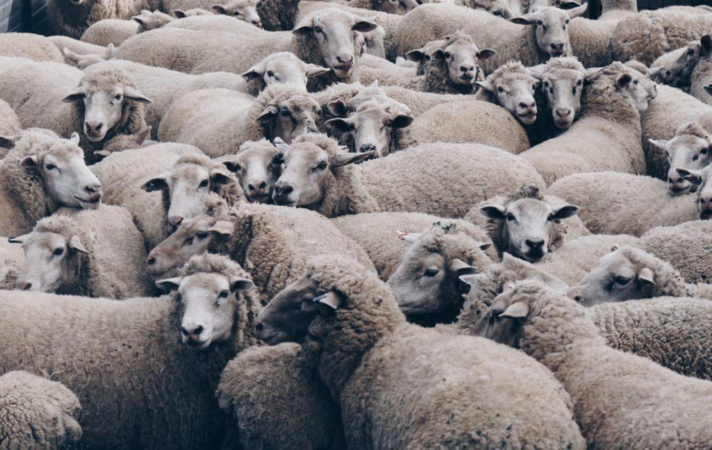 Entstehung Lammfellteppich