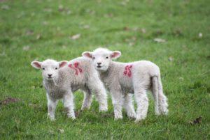 Reinging eines Lammfells