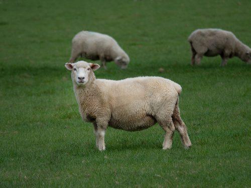 Schaf mit Schaffell
